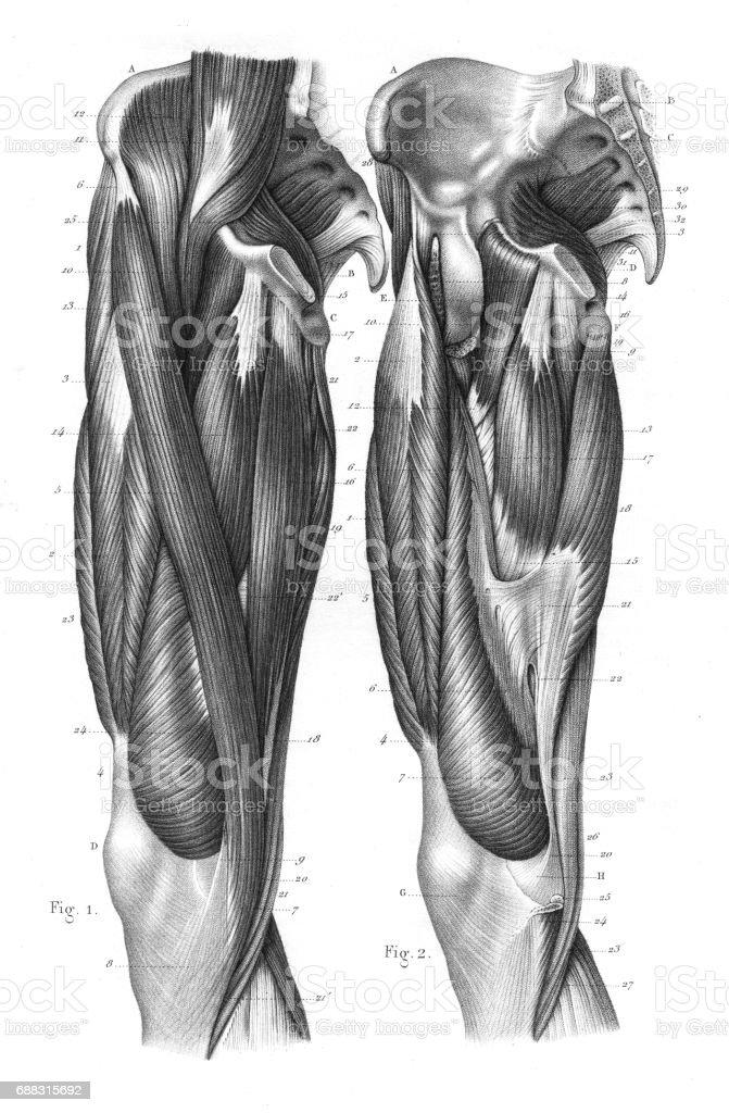 femoral region anatomy engraving 1866 - illustration