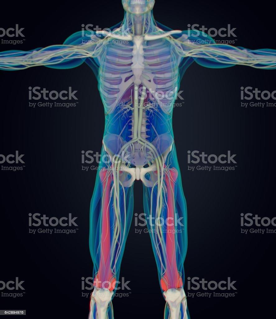 Fein Anatomie Oberschenkelknochen Fotos - Anatomie Von Menschlichen ...