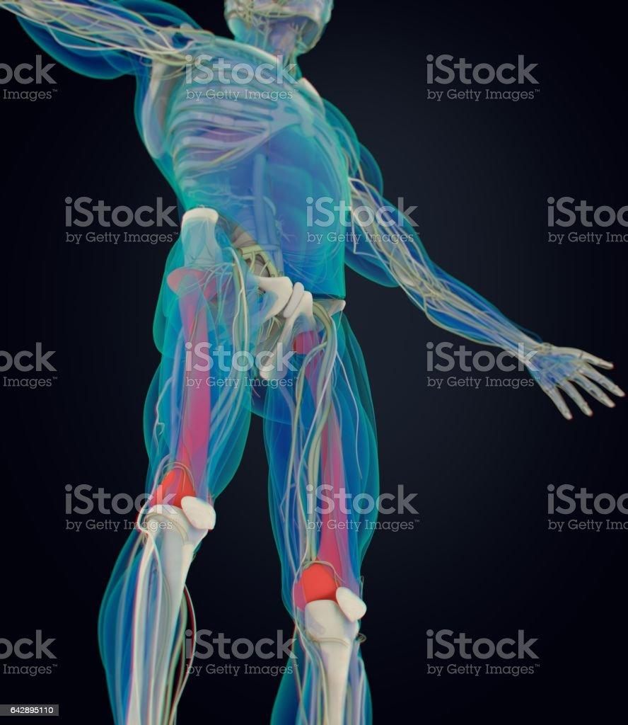 Ilustración de Hueso Fémur Anatomía Humana Ilustración 3d y más ...