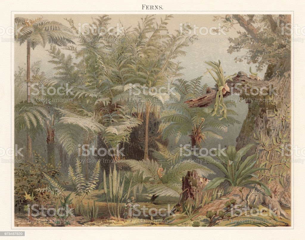 Ferns, lithograph, published in 1897 vector art illustration