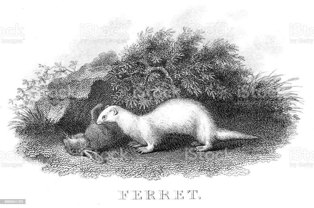 Ferret Hunting Engraving 1812 Stock Vector Art & More Images of ...