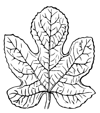Ficus carica , common fig Leaf