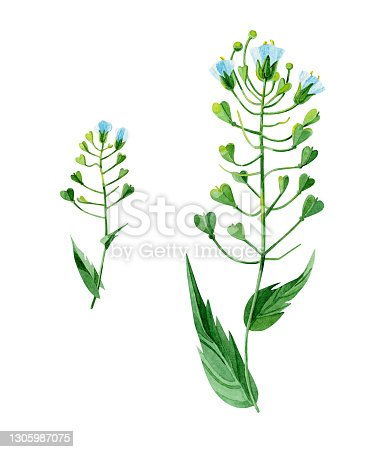 istock Field flowers. Blooming shepherd's bag (Capsella bursa-pastoris). Hand-drawn in watercolor. Botanical illustrations on a white background. Design elements that are perfect for postcards, prints, banners. 1305987075