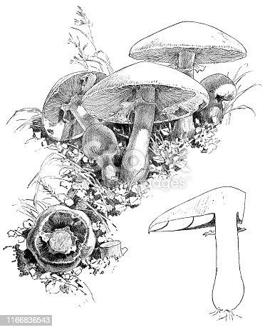 Field Mushrooms (Agaricus Campestris). Vintage etching circa 19th century.