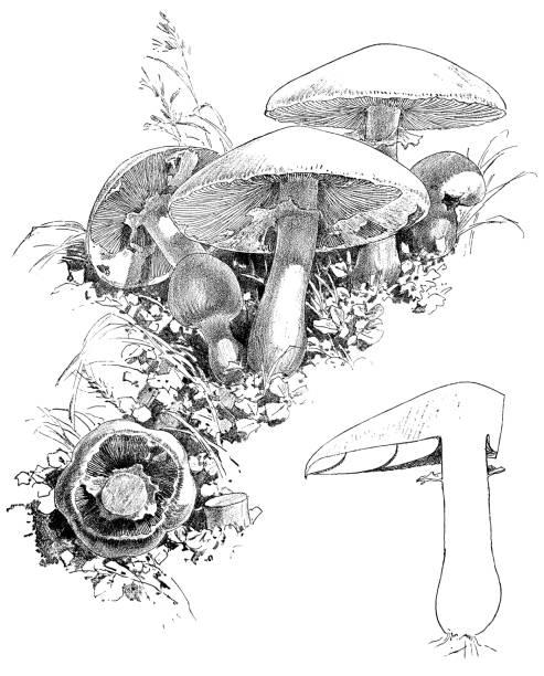 Field Mushroom Illustrations, Royalty-Free Vector Graphics ...