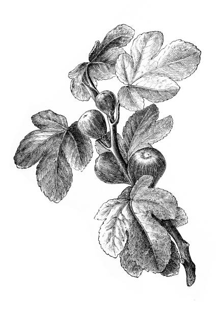 Figs | Antique Design Illustrations 19th-century engraving of figs (isolated on white) fig stock illustrations