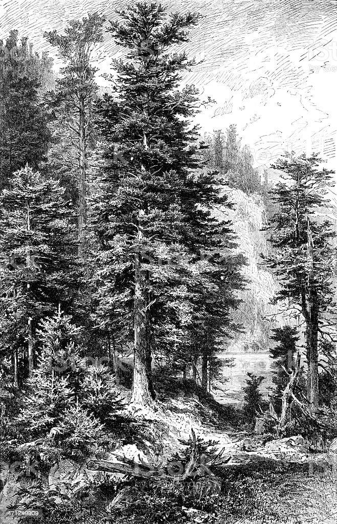 Fir Tree royalty-free stock vector art