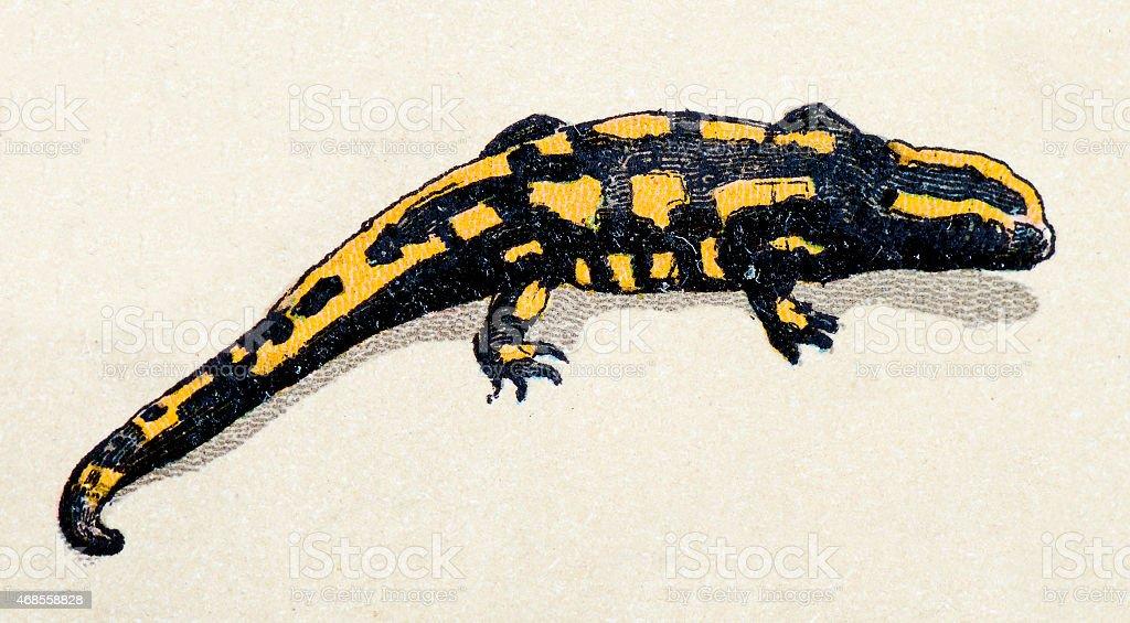 Ilustración de Salamandra Común Y Reptiles Animales Antigüedades De ...
