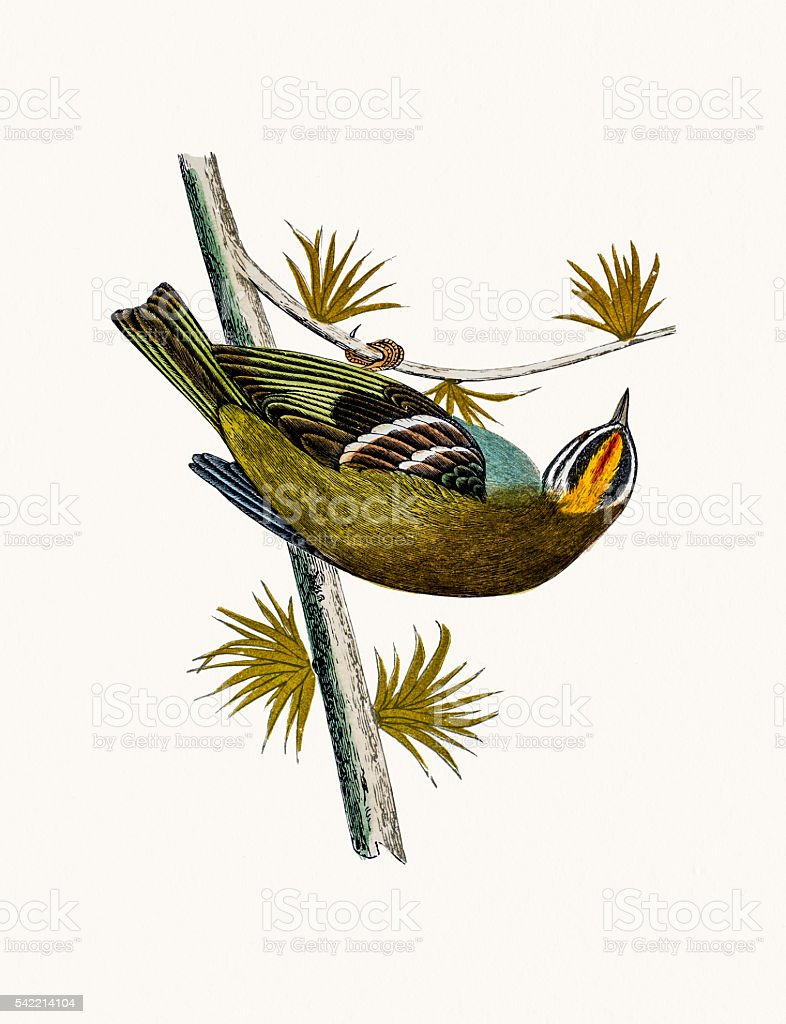 Firecrest bird vector art illustration