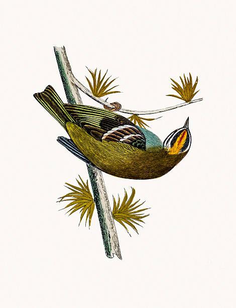 Firecrest bird vector art illustration