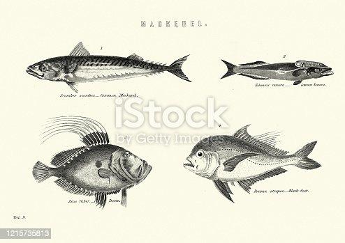 Vintage engraving of Atlantic mackerel (Scomber scombrus). Common Remora. Brama atropos, black-foot fish. John Dory, St Pierre or Peter's Fish (Zeus faber) 19th Century