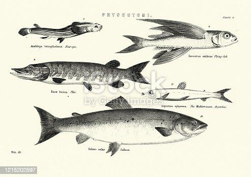 Vintage engraving of Fish, Four-eyed fish, Flying fish, Pike, Salmon, Mediterranean Argentine
