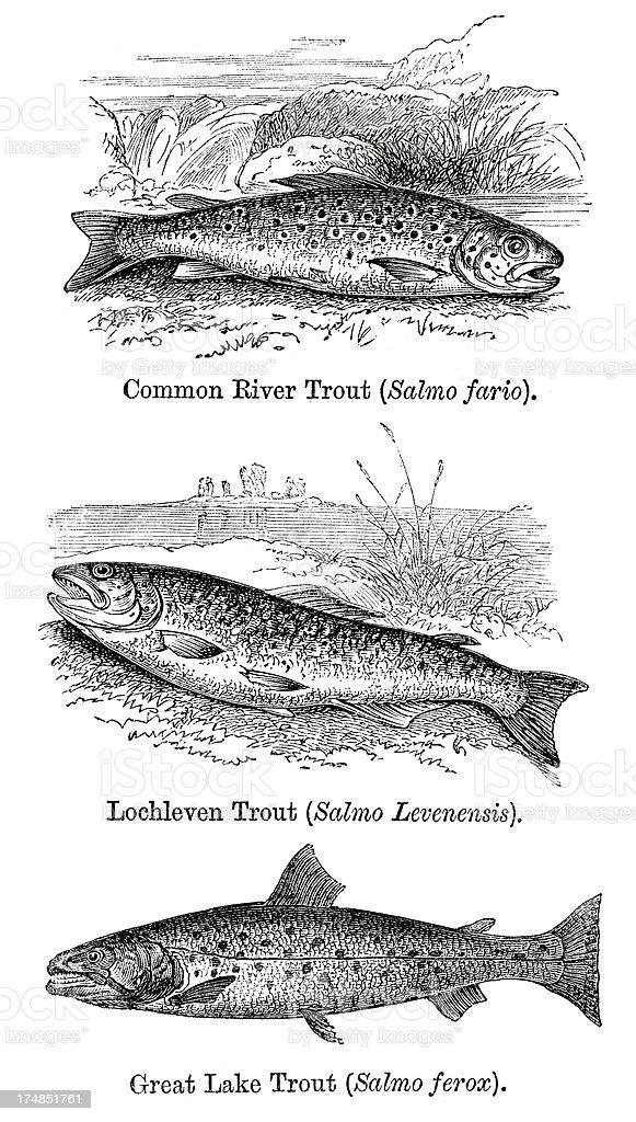 Fish - Trout vector art illustration