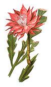 Illustration of fishbone cactus (Phyllocactus anguliger)