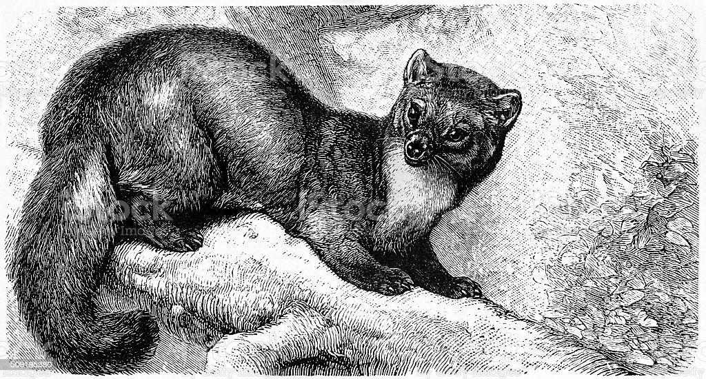 Fisher (mustela martes - Illustration vectorielle