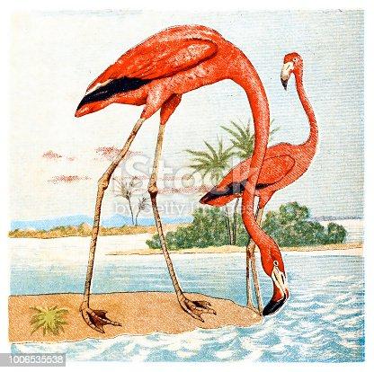 Illustration of a Flamingos