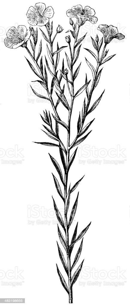 flax royalty-free stock vector art