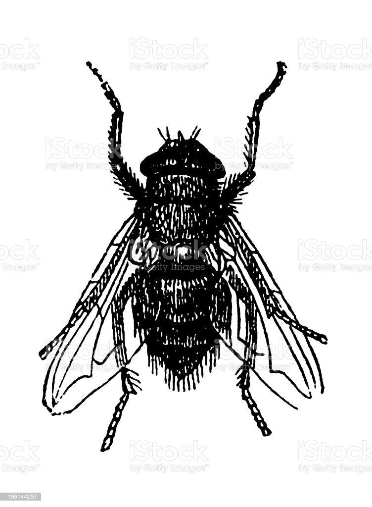 Flesh Fly (Sarcophaga Carnaria) royalty-free stock vector art