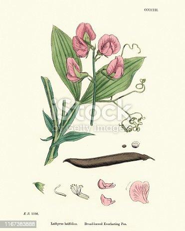 Vintage engraving of Lathyrus latifolius, the perennial peavine, perennial pea, broad-leaved everlasting-pea, or just everlasting pea, is a robust, sprawling perennial in the Pea Family Fabaceae.