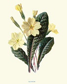 Vintage engraving of Flora, Wildflowers, Primrose
