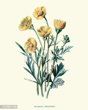Vintage engraving of Ranunculus bulbosus, commonly known as St. Anthony's turnip or bulbous buttercup, is a perennial member of the buttercup family.