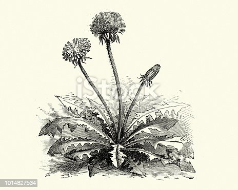 Vintage engraving of Taraxacum officinale, the common dandelion, is a flowering herbaceous perennial plant of the family Asteraceae