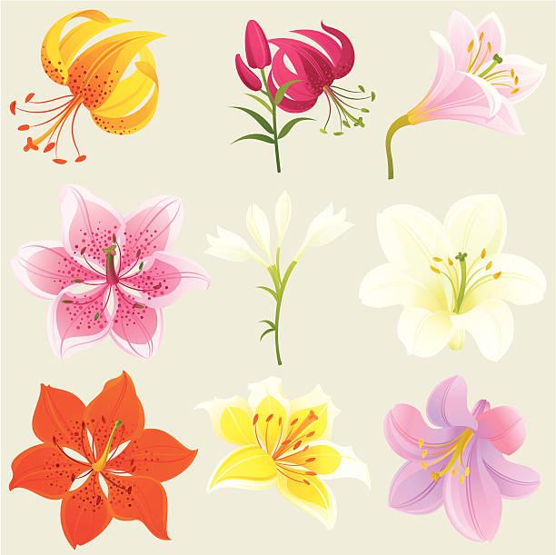 Floral Design Elements (Colourful Lilies) vector art illustration