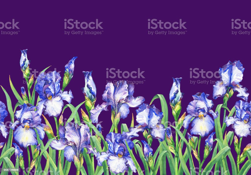 Floral seamless border with flowering blue irises, on white background. Panoramic horizontal view. Isolated watercolor hand drawn painting illustration. Design for fabric, wrap paper or wallpaper. vector art illustration