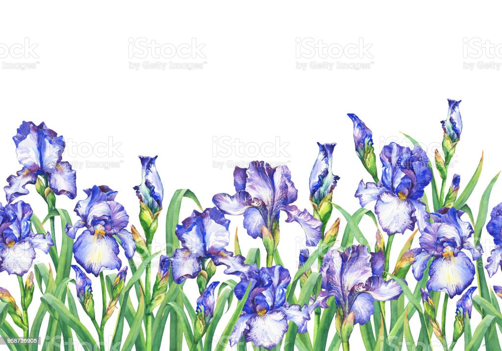 Floral seamless border with flowering violet irises, on white background. Panoramic horizontal view. Isolated watercolor hand drawn painting illustration. Design for fabric, wrap paper or wallpaper. vector art illustration