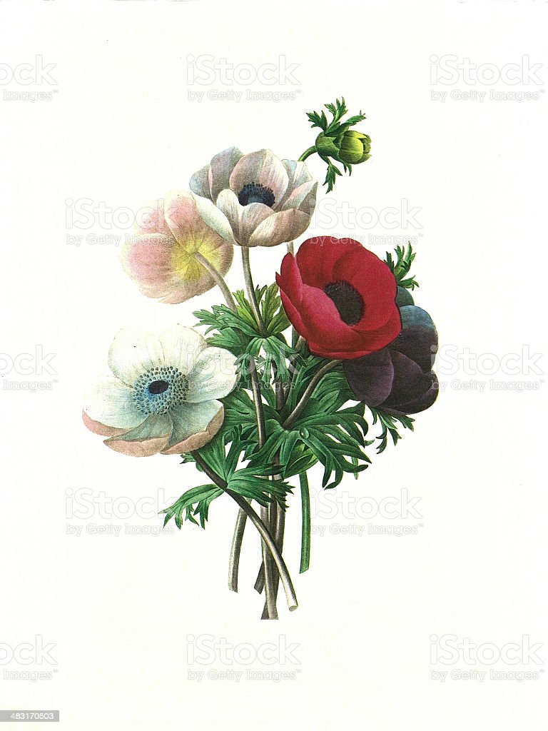 flower antique illustration anemone simplex vector art illustration