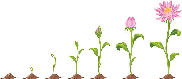 Flower Stage growth of flower on a white background bud stock illustrations