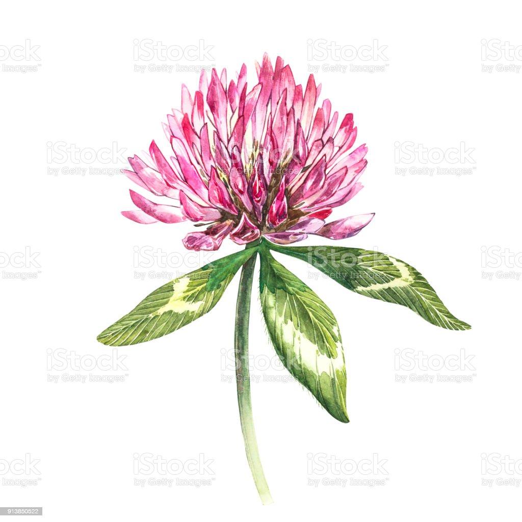 Fleur De Trefle Rouge Avec Des Feuilles Aquarelle Botanique