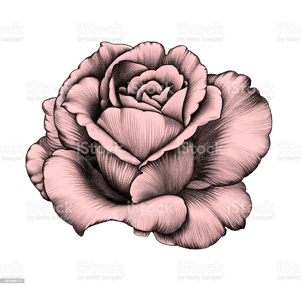 Flower Pencil Drawing Stock Vector Art & More Images of ...