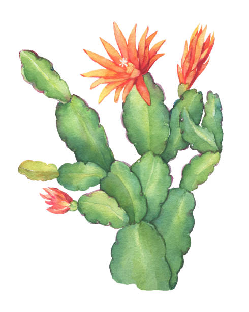 Best Christmas Cactus Illustrations, Royalty-Free Vector Graphics & Clip Art - iStock