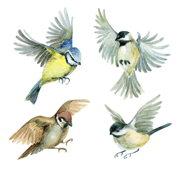 Flying birds set Flying birds set. Watercolor birds - sparrow, titmouse and chickadee. Hand painted illustration isolated on white background chickadee stock illustrations