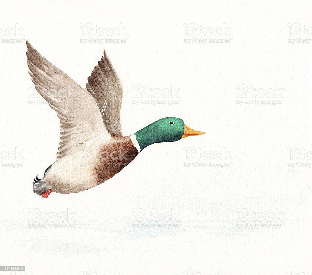 飛ぶ鴨 アイサのベクターアート素材や画像を多数ご用意 Istock
