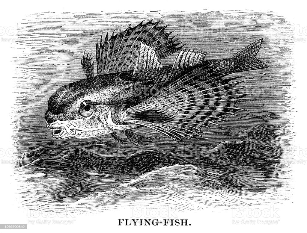 Flying Fish Stock Vector Art More Images Of 19th Century