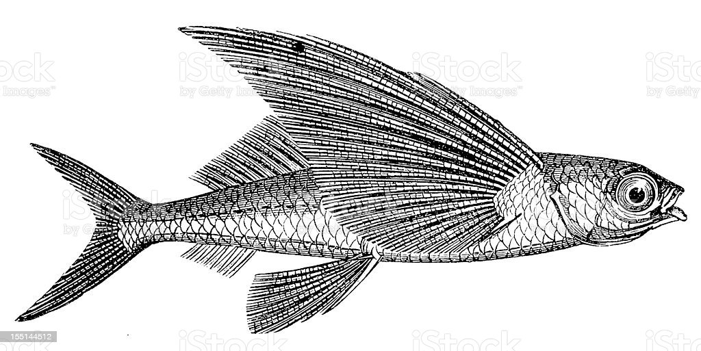 flying fish stock vector art amp more images of 19th century