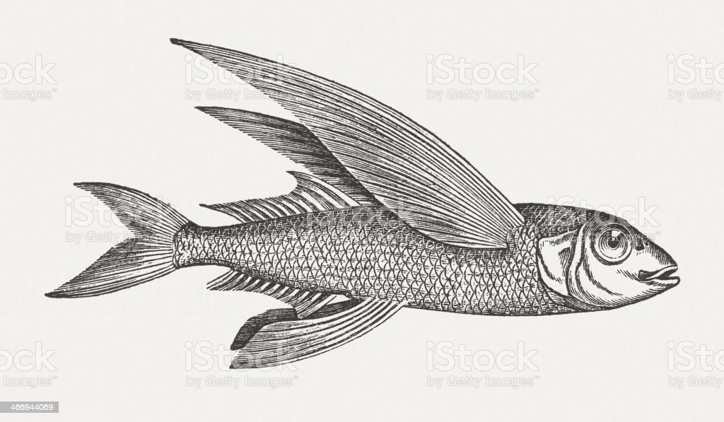 flying fish wood engraving published in 1865 stock vector
