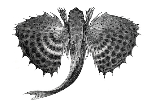 Flying gurnard fish Saint Vincent illustration 1864