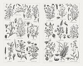 Fodder plants, wood engravings, published in 1897