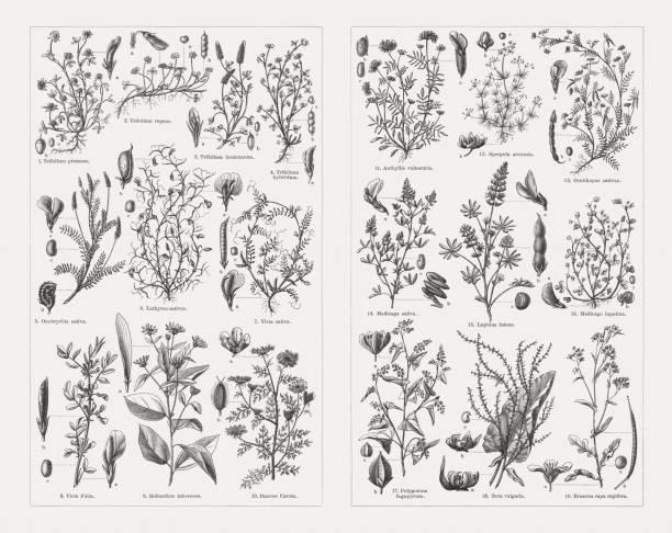 illustrazioni stock, clip art, cartoni animati e icone di tendenza di fodder plants, wood engravings, published in 1897 - erba medica