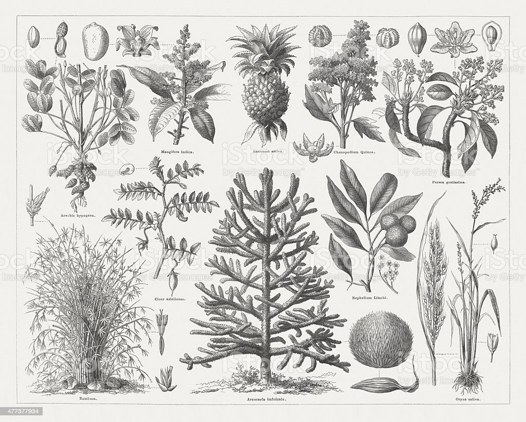Food plants, wood engraving, published in 1877 vector art illustration