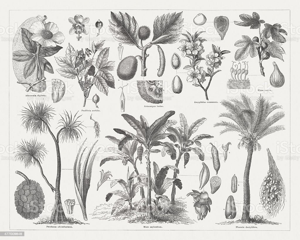 Food plants, wood engravings, published in 1877 vector art illustration