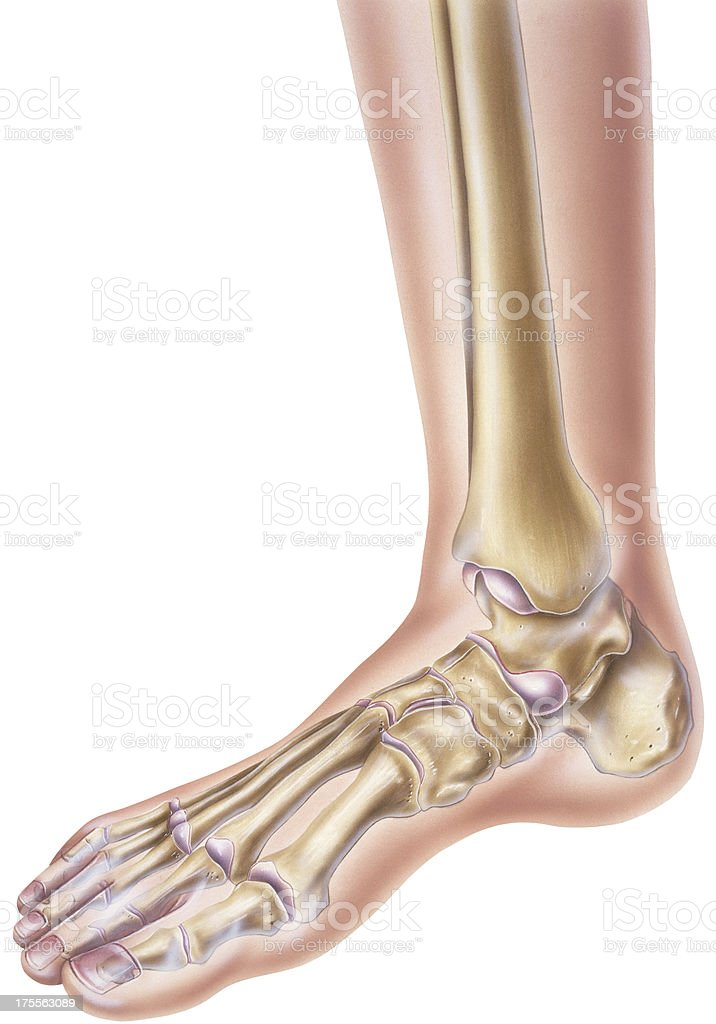 Foot Ankle Showing Bones And Joints Stock Vector Art More Images