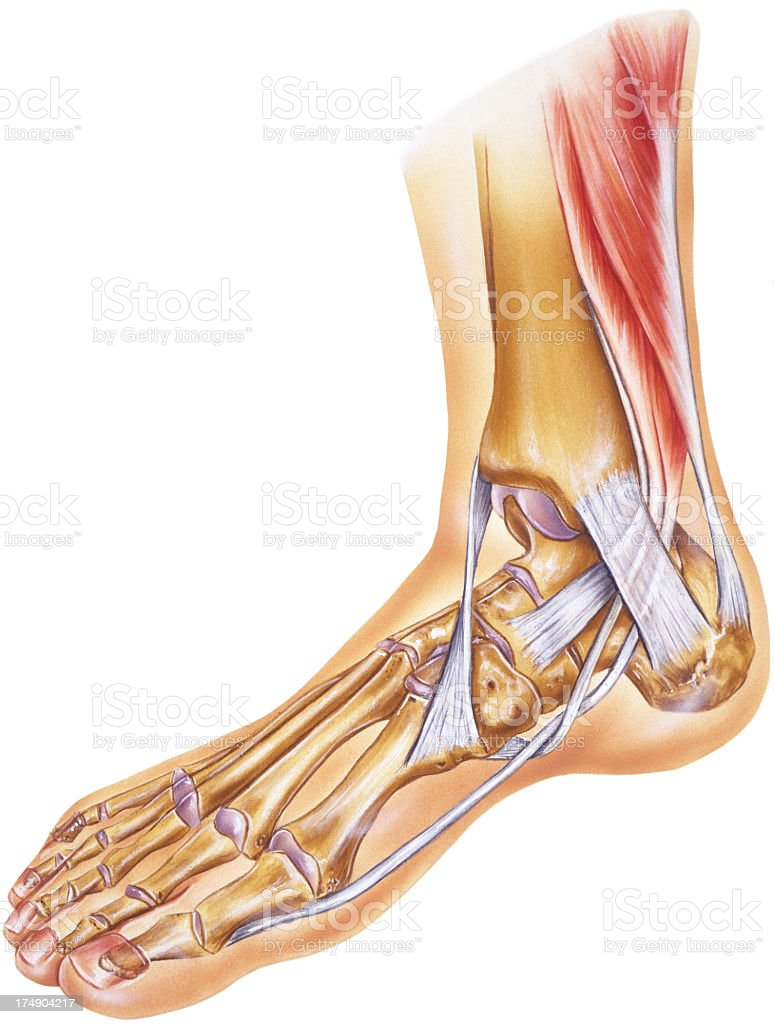 Foot & Ankle - Tendons, Ligaments, Joints and Bones vector art illustration