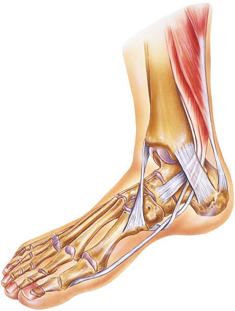 stopy & kostki-ścięgien, więzadeł i kości, stawów - ludzka noga stock illustrations