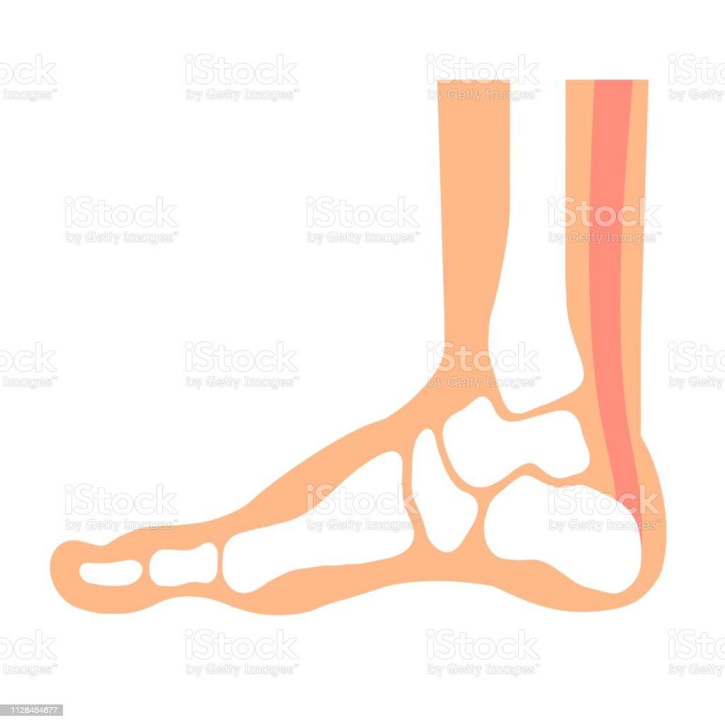 Foot bone vector art illustration