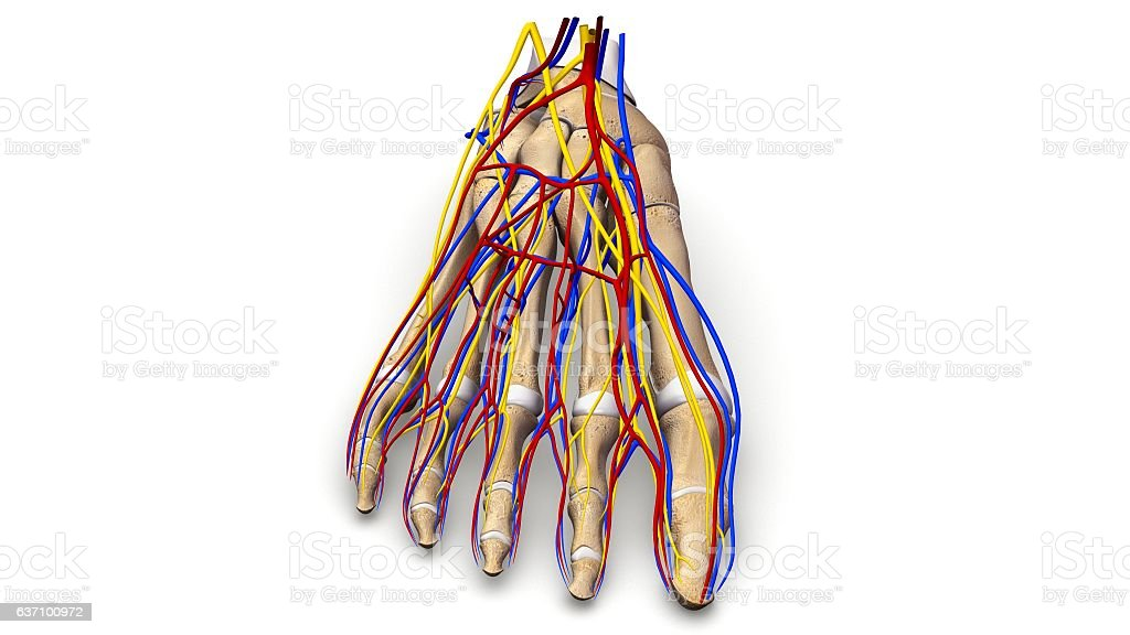Foot Bones With Blood Vessels And Nerves Anterior View Stock Vektor
