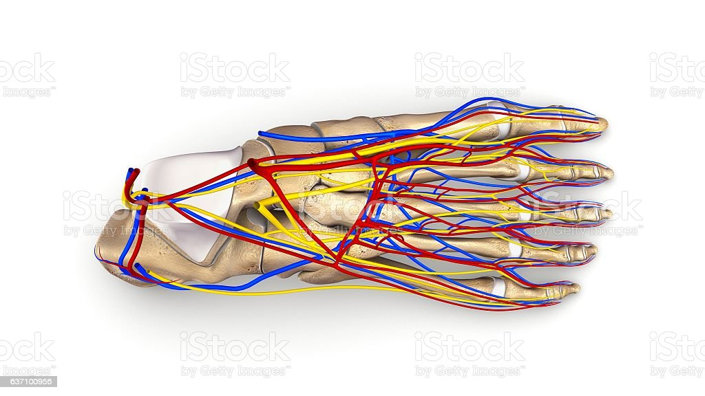 Foot Bones With Blood Vessels And Nerves Top View Stock Vector Art ...
